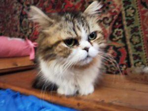 Ju - Katze 2 -Tiervermitllungshilfe